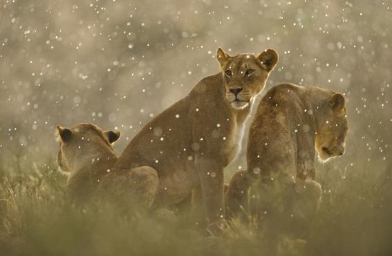 lionsrain