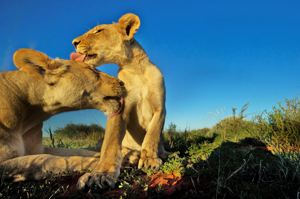 lionslick
