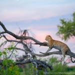 blogleopard