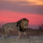 lionsunset-2