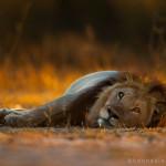lion2 copy