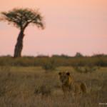 lion&Boabab
