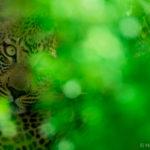 junglecat-5